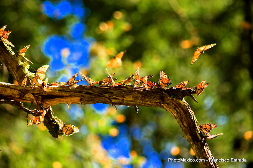 The Monarch Butterflies migrate to Mexico