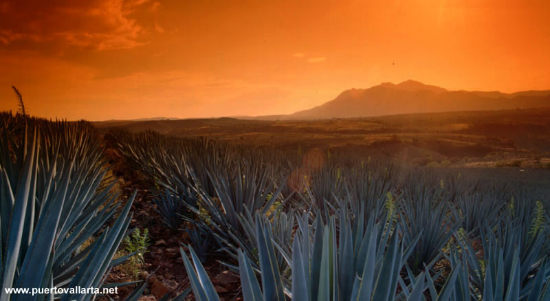 Blue agave fields, Tequila, Jalisco, Mexico