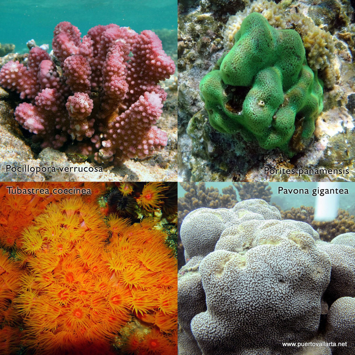 Coral species that form reefs at the Marietas Islands