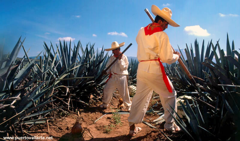 Jimadores harvesting agave for Tequila production