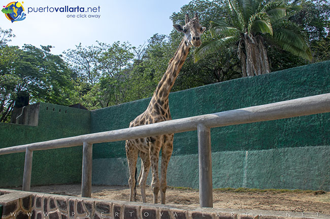 Giraffe at Vallarta Zoo, glad to receive carrots from your goody bag