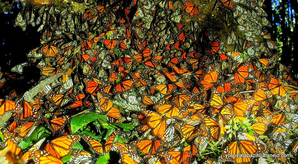 Monarch butterfly hibernate in Mexico