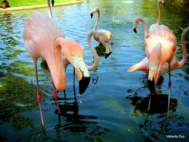 Flamingos PV Zoological Garden