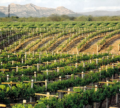 Mexican Vineyards