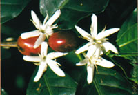 Coffee plant flowers and berries