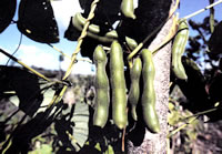Bean seed pods