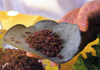 Edible Insects in Mexico