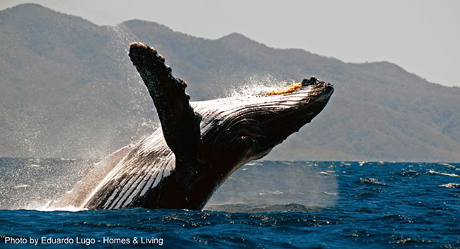 Humpback whale in the Banderas Bay