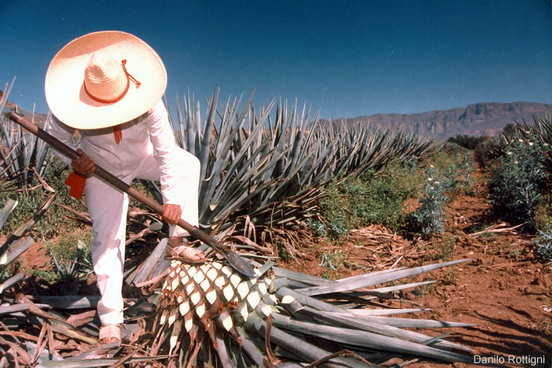 Blue Agaves, the raw material for Tequila