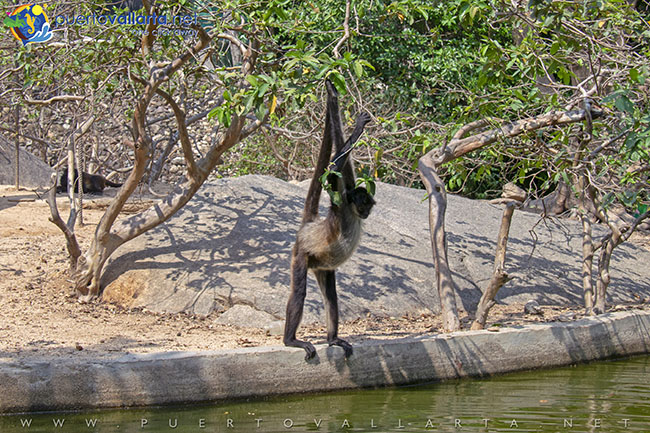 Spider Monkeys at Vallarta Zoo