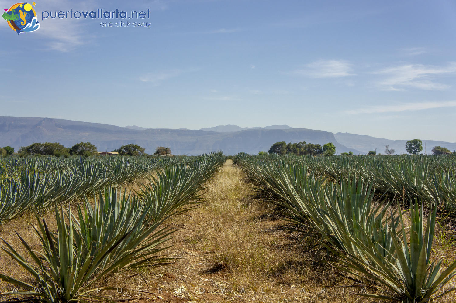 Blue Agave fields in Tequila, Jalisco, Mexico