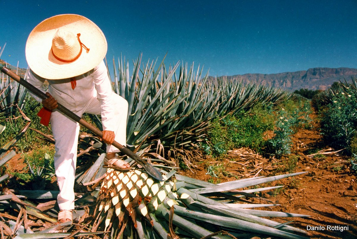 Harvesting the Blue Agave, Tequila, Jalisco, Mexico